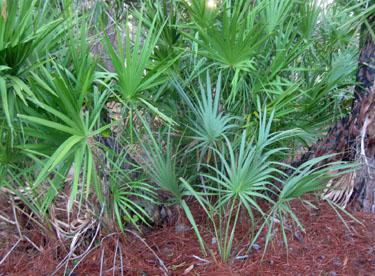 Florida S Palms