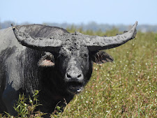 Young bull covered in mud, Carmor Plains