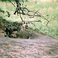 69 hyena Serengeti.jpg