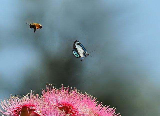 Psychonotis caelius (C. & R. FELDER, 1860), femelle. Wyrrabalong Nat. Park (New South Wales, Australie), 28 janvier 2011. Photo : Barbara Kedzierski