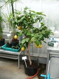Cytryna pokrój Citrus limon habitat