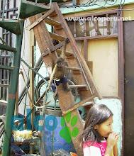 Mono Lanudo plateado amarrado (6)