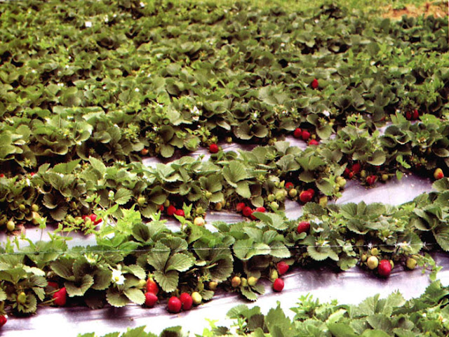 Pluck some strawberries from a strawberry farm in Mahabaleshwar. From 7 Budget friendly family destinations in India