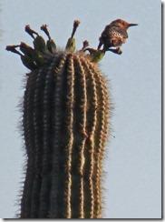 Cave Creek Regional Park - Saguaro Cactus & Gila Woodpecker