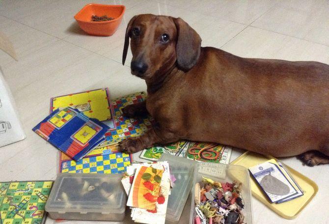 Chó lạp xưởng ăn gì? Cách nuôi chó lạp xưởng dachshund