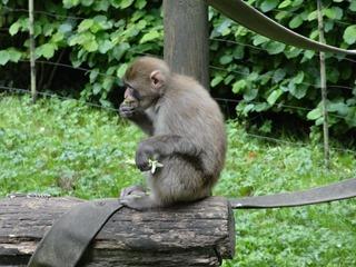 2016.07.31-047 macaque japonais