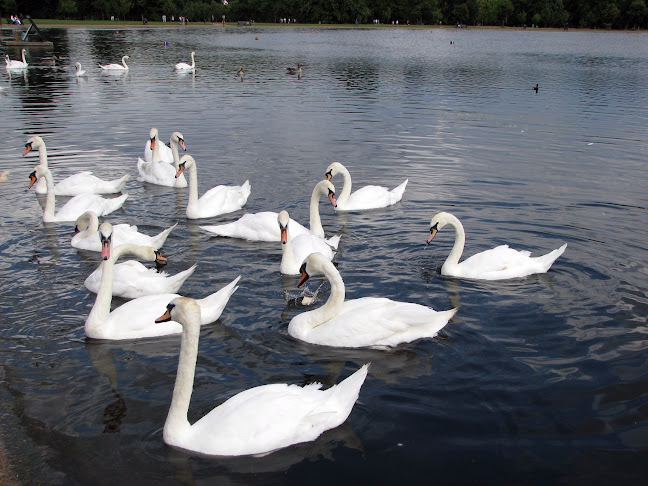 Swimming white swans in Serpentine Lake near Kensington Palace, London, United Kingdom