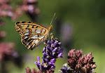 Storplettet perlemorsommerfugl på lavendel, lathonia.jpg