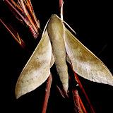 Sphingidae : Macroglossinae : Xylophanes porcus continentalis Rothschild & Jordan, 1903, mâle. San Juan, près de Caranavi, 1000 m (Yungas, Bolivie), 24 décembre 2014. Photo : Jan-Flindt Christensen