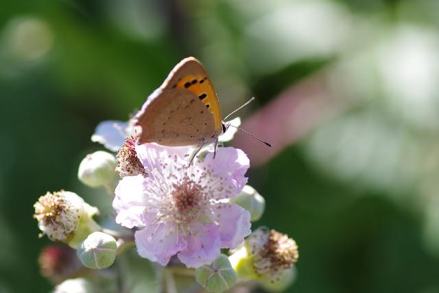 Lycaena phlaeas (Linnaeus, 1761). Les Hautes-Courennes (550 m), Saint-Martin-de-Castillon (Vaucluse), 19 juin 2015. Photo : J.-M. Gayman