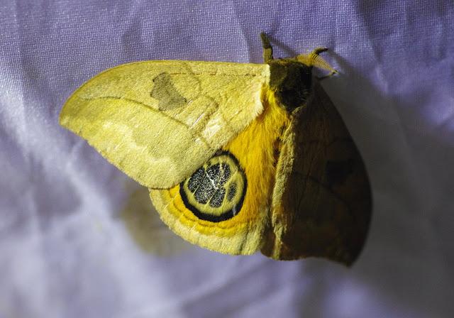 Saturniidae : Hemileucinae : Automeris liberia (Cramer, 1780), mâle. Santa María en Boyacá, 1120 m (Boyacá, Colombie), 2 novembre 2015. Photo : J.-M. Gayman