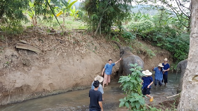 Elephants drinking at a small stream in the Lanna Kingdom Elephant Sancturay