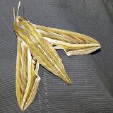 Macroglossinae : Hippotion celerio (L., 1758). Shai Hills (Ghana oriental), 26 décembre 2013. Photo : J.-F. Christensen