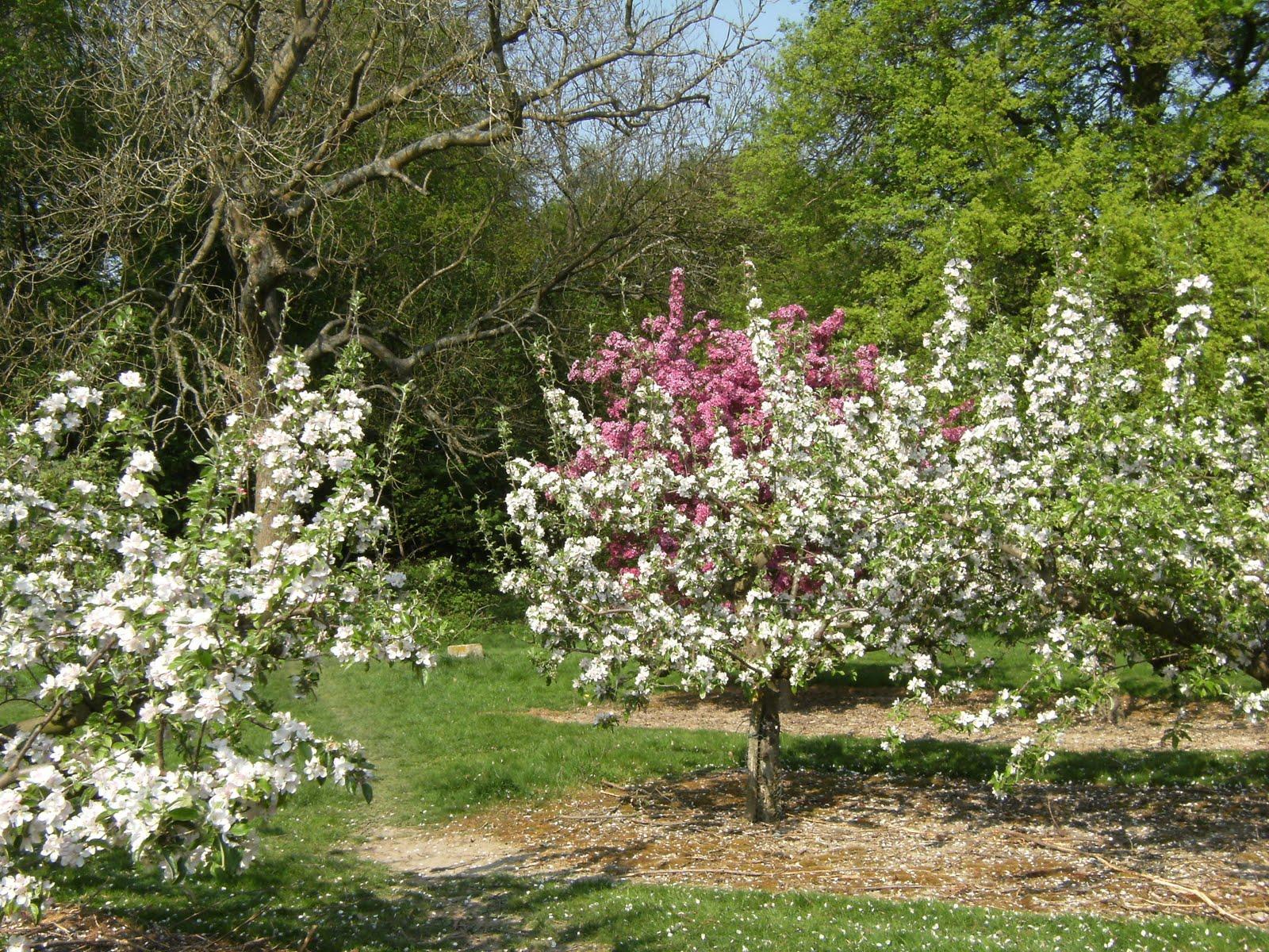 DSCF7382 Orchard at Wittersham