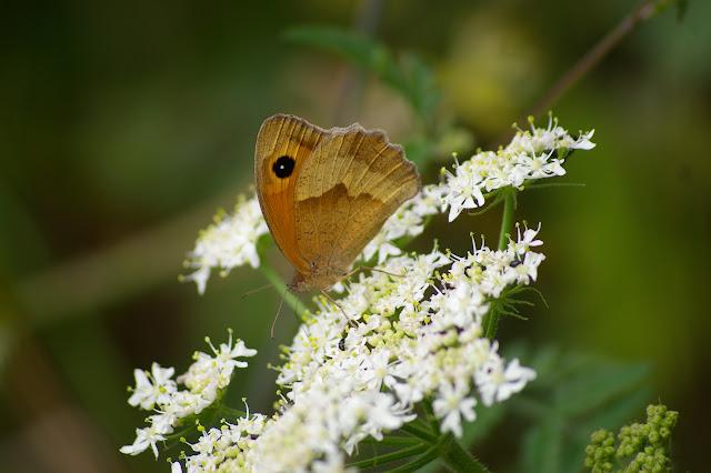 Maniola jurtina LINNAEUS, 1758, femelle, en lisière de forêt. Les Hautes-Lisières, 9 juillet 2009. Photo : J.-M. Gayman