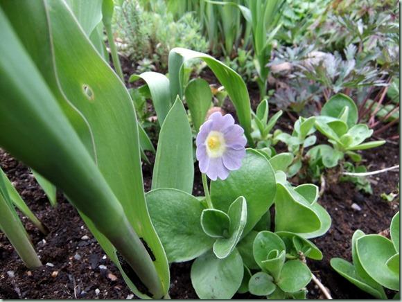 Primula x pubescens lysblå