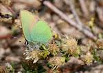 Grøn busksommerfugl4.jpg