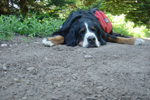 Photo of Eiger sleeping on the trail on July 9, 2006. Photo courtesy of Nick Peyton.