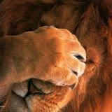 real_lion_paf_le_front.jpg