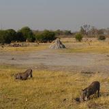Warthogs in Moremi