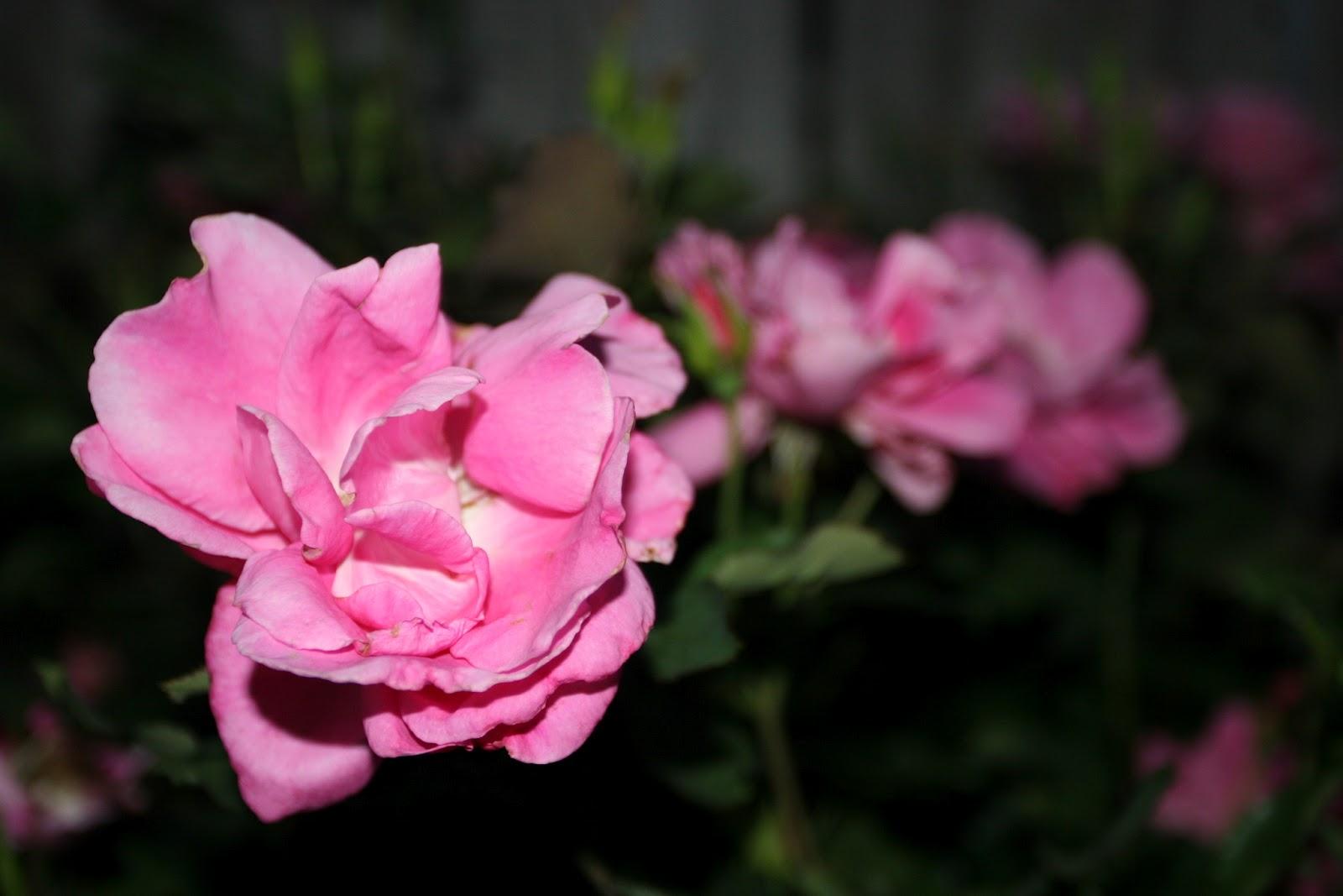 Gardening 2012 - IMG_3092.JPG