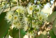 bunga pohon jamblang