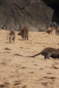 Majmuni vladaju plažom.jpg
