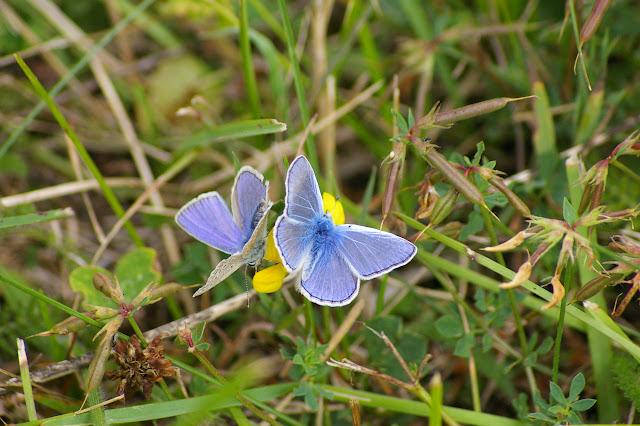 Polyommatus icarus (Rottemburg, 1775), mâles. Hautes-Lisières (Rouvres, 28), 26 juillet 2010. Photo : J.-M. Gayman