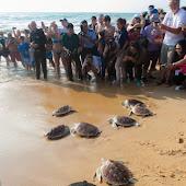 phuket event Mai Khao Marine Turtle Foundation launches Marine Turtle Nesting Site Conservation and Rehabilitation Project 019.jpg