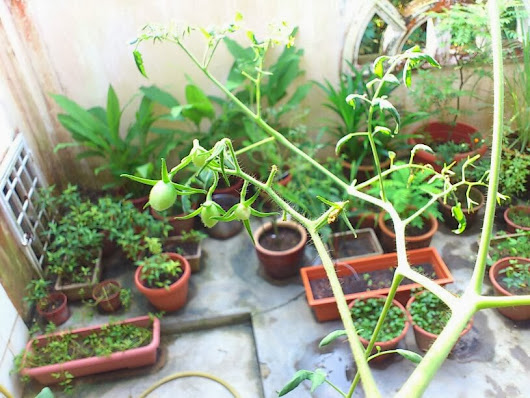 Growing Cherry Tomatoes In Containers ~ Finally!