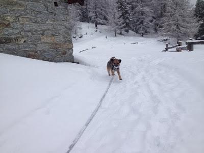 Border Terrier Charly rennt im Schnee um die Hausecke