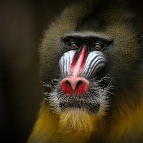 Mandrill by Peter Bargh - Animals Other Mammals ( mandrill, chester zoo )