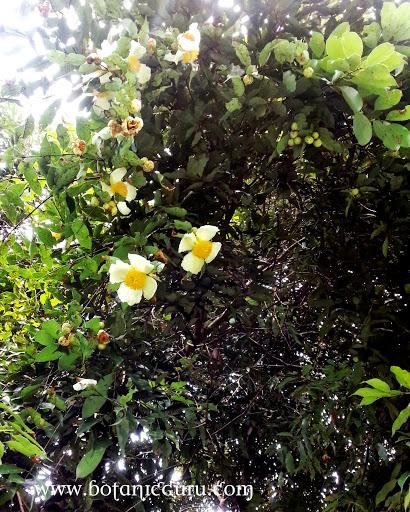 Mesua ferrea, Ceylon Ironwood, Indian Rose Chestnut, Cobra's Saffron,Poached Egg Tree