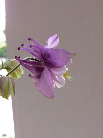 aquilegia lilac2