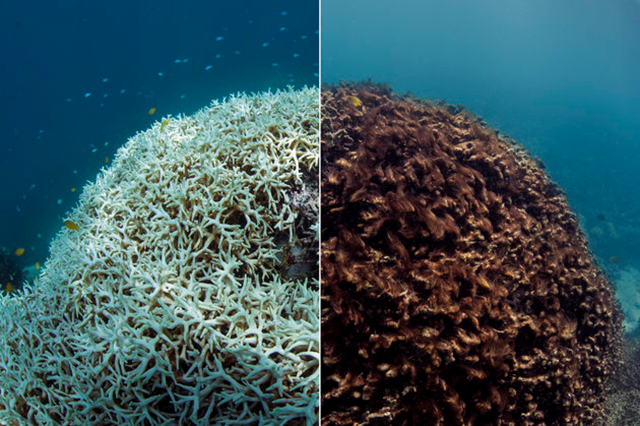 This photo on the left shows bleached coral at Lizard Island in the Great Barrier Reef, in March 2016. The second image, taken in May 2016, shows the same formation dead. Photo: XL Catlin Seaview Survey / Associated Press