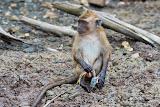 Monkey - Langkawi, Malaysia