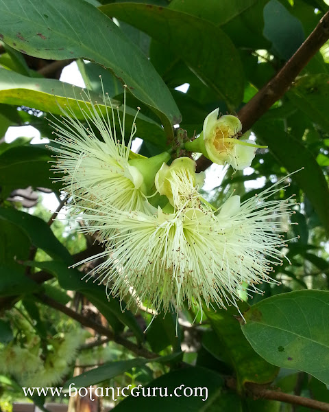 Syzygium aqueum, Water Apple