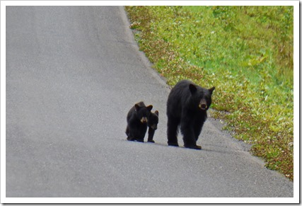 Mama Bear with 2 cubs, Cassiar Highway