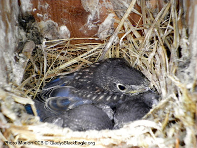 Three young bluebirds all tucked in a manmade nestbox.