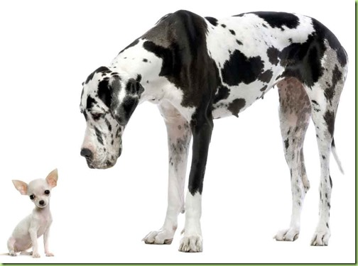 great-dane-and-small-chihuahua
