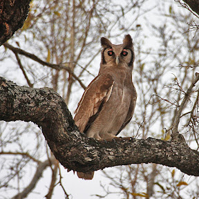 Giant Eagle Owl, South Africa