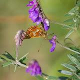 Clossiana euphrosyne LINNAEUS, 1758, mâle (1720 m). Super Sauze, 13 juillet 2010. Photo : J.-M. Gayman