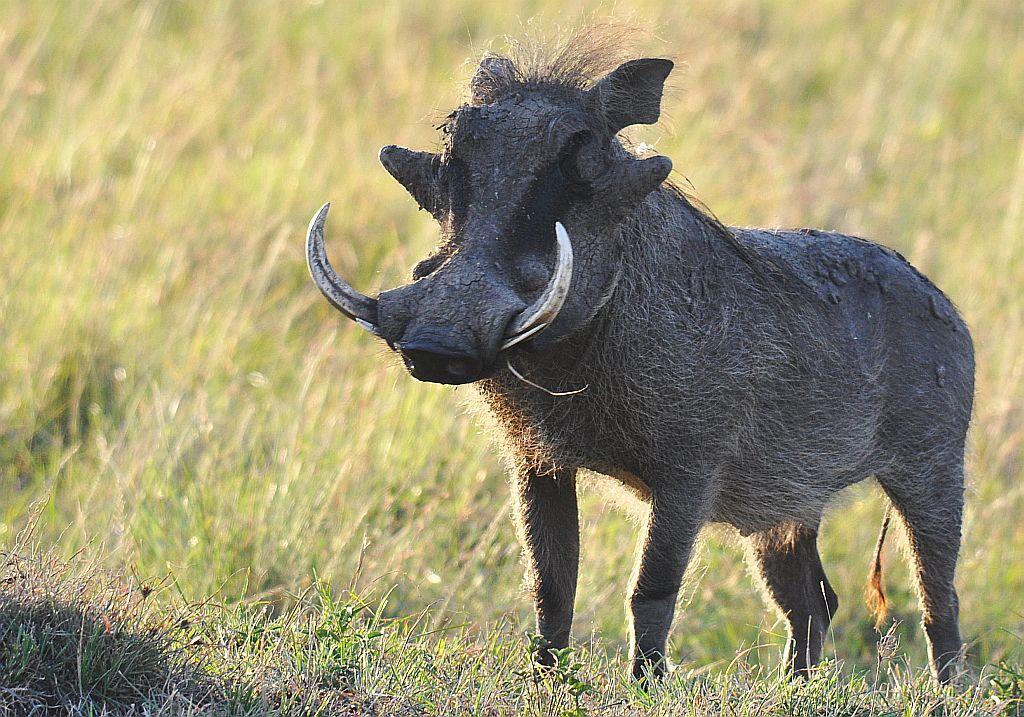 Elsen Karstad's 'Pic-A-Day Kenya': Wart Hog- Masai Mara, Kenya