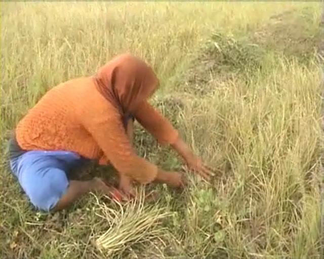 Kemarau, Puluhan Hektar Sawah di Jombang Puso