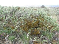 Artemisia rigida (Stiff sagebrush)