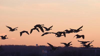 Canada Geese, Hackensack.