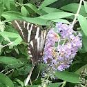 Zebra striped swallow tail