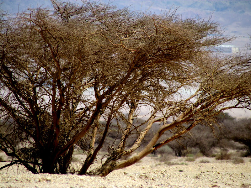 касается воспалительных дерево ситтим фото пяти корпусов, четыре