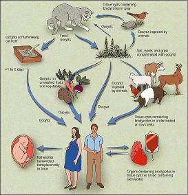 пути заражения гельминтами
