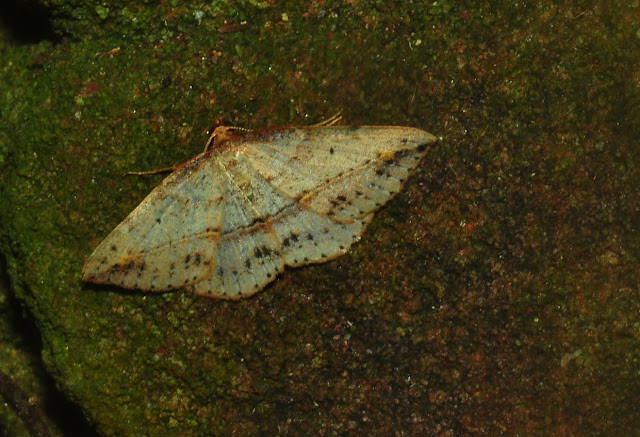 Geometridae : Oenochrominae : Taxeotis intextata GUENÉE, 1857. Umina Beach (N. S. W., Australie), 1er janvier 2012. Photo : Barbara Kedzierski